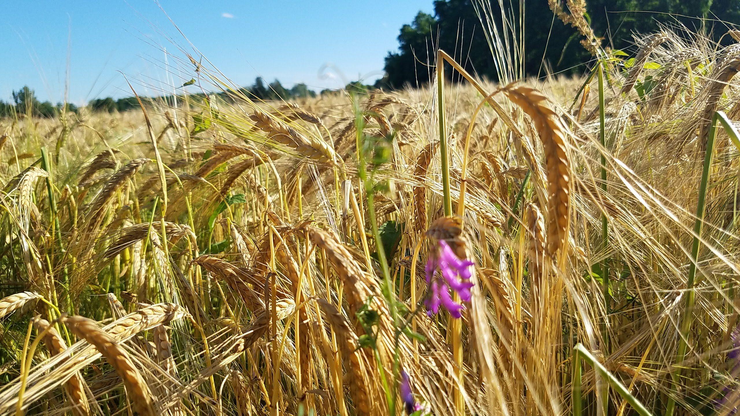 Valley Malt Wheat